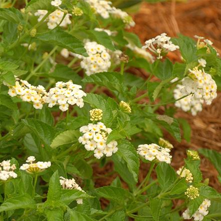 white lananta flowers