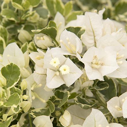 white flowers on white stripe bougainvillea