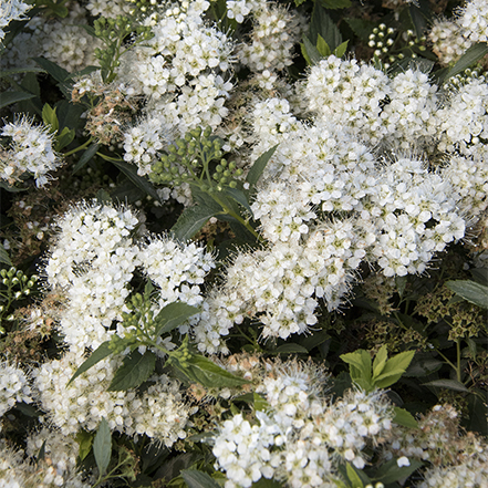 white yeti spirea flowers