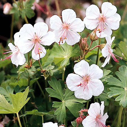 white cranesbill glowers with pink centers and green leaves