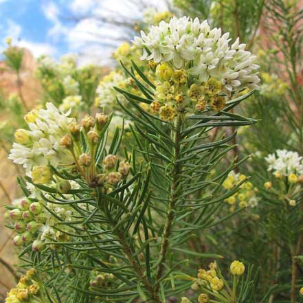 plant that attracts butterflies: milkweed plant with white flowers