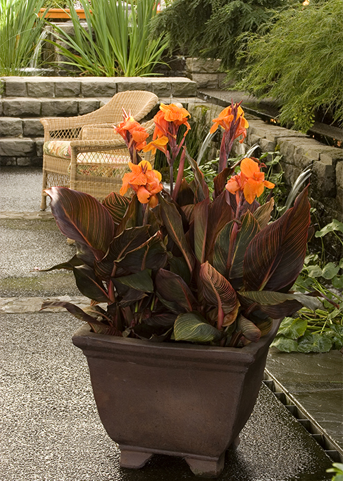 orange canna flowers and red leaves in bronze brown pot
