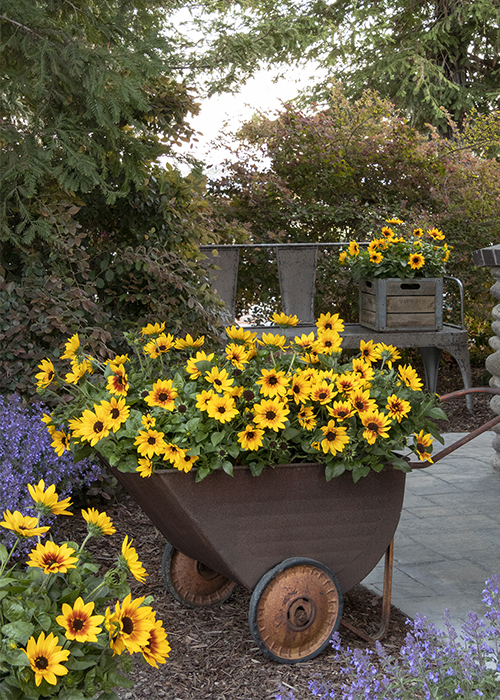 annual sunflowers in wheelbarrow container with purple flowers in border