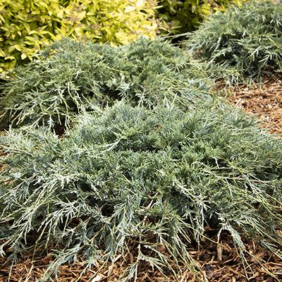 blue-green low-growing juniper
