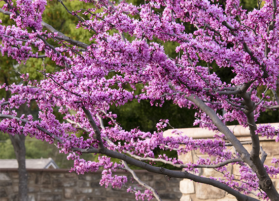 blooming redbud tree with pink flowers