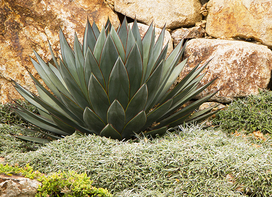 blue glow agave against stone wall