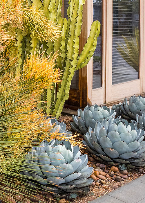 ice blue agave in front of windows with tall cactus and grass