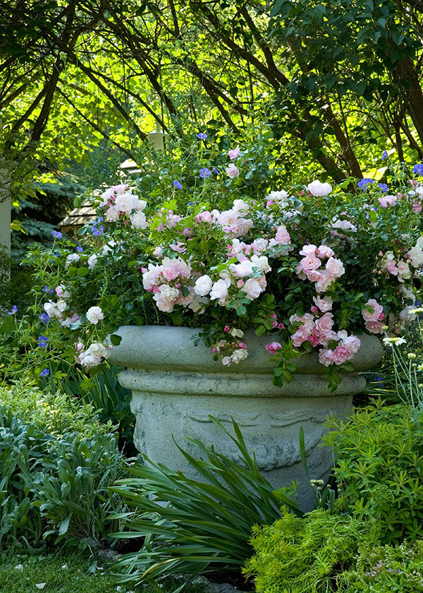 pink groundcover rose in large container