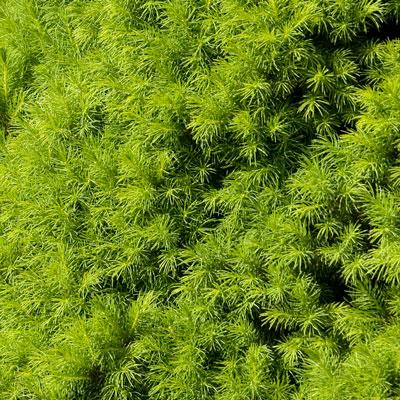 green conifer needles on dwarf alberta spruce