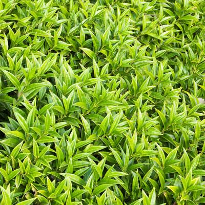 green sweetbox foliage is deer resistant