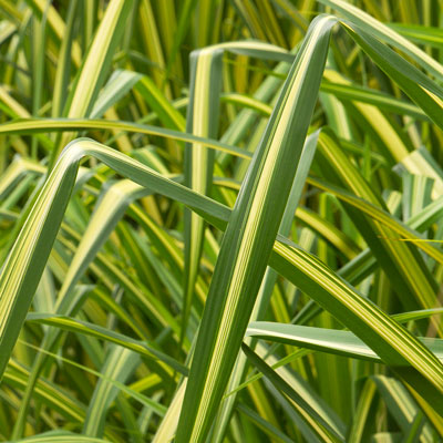 bright green and creamy yellow yucca leaves