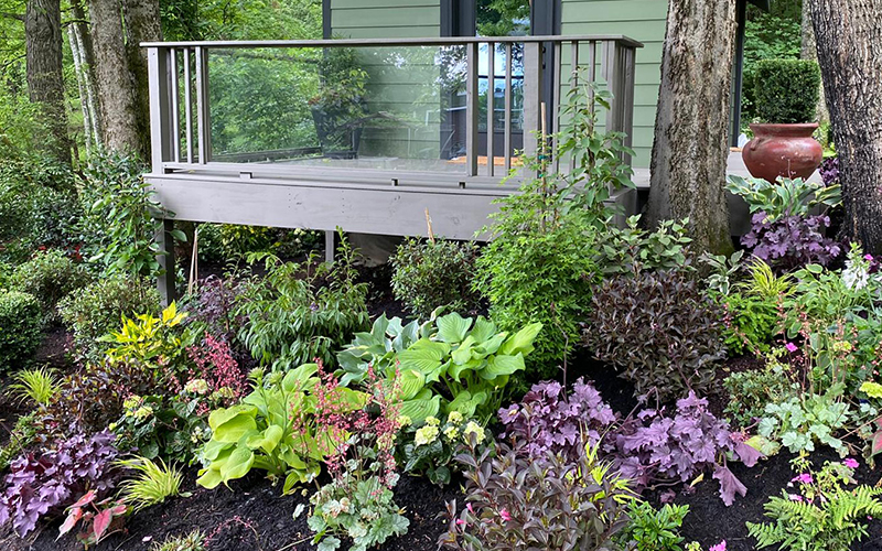 purple coral bell leaves and green foliage plants in shady garden in front of yoga shed