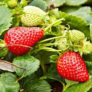 Albion-Strawberry_300