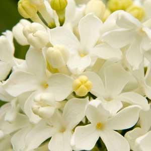 Angel-White-Lilac_300