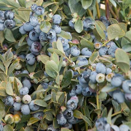 Bountiful-Blue-Blueberry