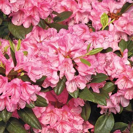 Bubblegum-Rhododendron