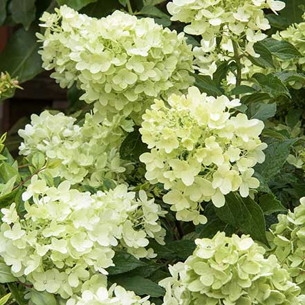 Candy-Apple_-Hydrangea_441
