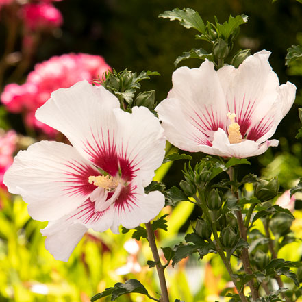 white and pink rose of sharon flowers