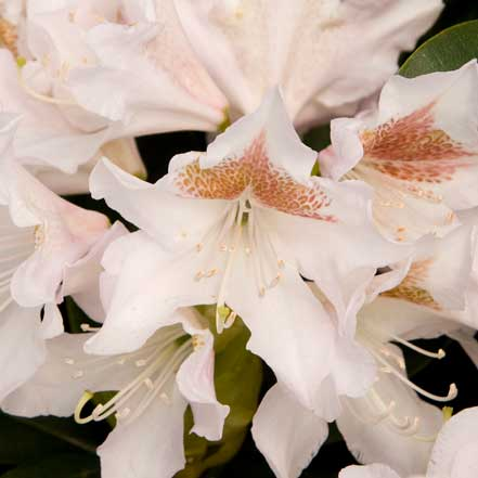 Cunningham_s-White-Rhododendron