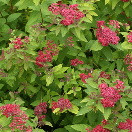 Double-Play_-Red-Spirea