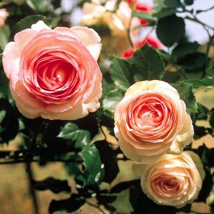 Eden-Climber_-Rose_441