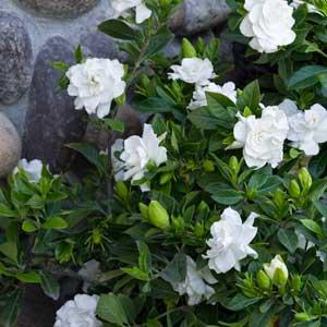 Everblooming-Gardenia_300_1