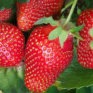 Eversweet-Strawberry_300
