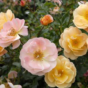 Flower Carpet® Amber Groundcover Rose