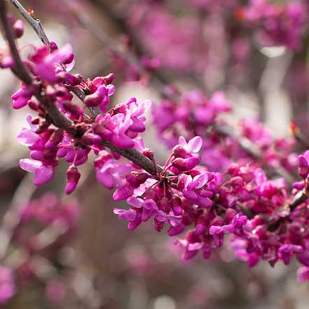 Forest-Pansy-Redbud