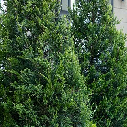 Green Columnar Juniper