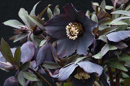 Helleborus-Winter-Jewels-450x298