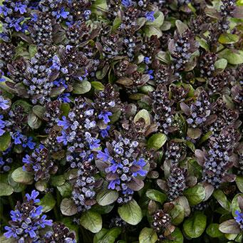 Blueberry Muffin Ajuga