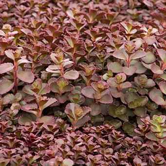 Bronze Carpet Stonecrop