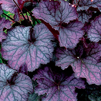 IMG_ID_NorthernExposurePurpleHeuchera