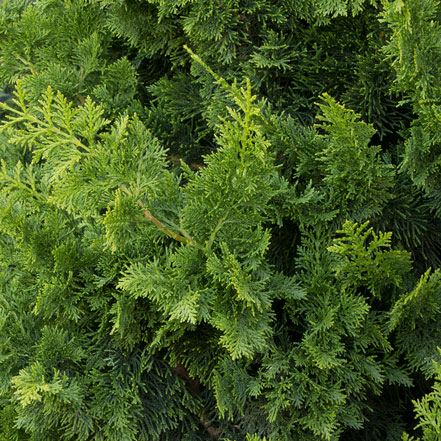 Jade Waves™ Fernspray False Cypress