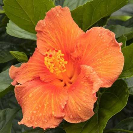 Jazzy Jewel® Amber Hibiscus