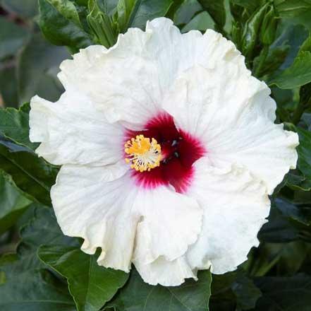 Jazzy Jewel® Opal Hibiscus