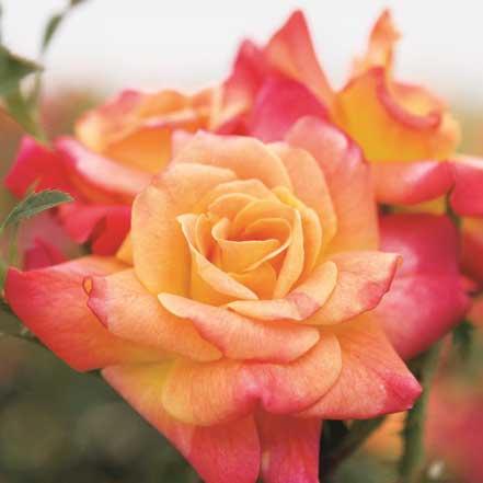 Joseph_s-Coat-Climbing-Rose_441