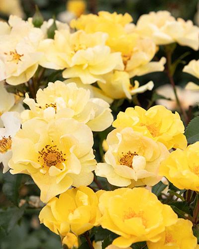14527_yellow_400x500