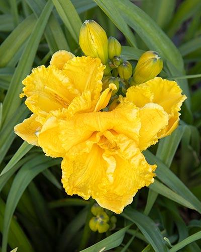 Saffron Skye Daylily