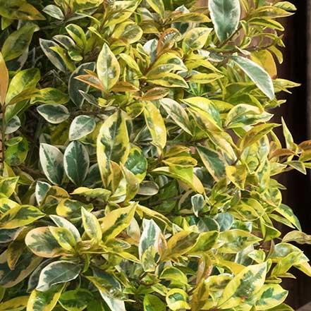 Lemon Swirl® Australian Brush Cherry