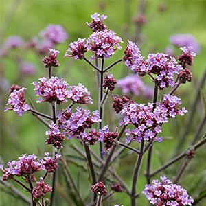 purple lollipop verbena flowers bloom into fall