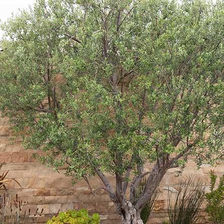 Majestic-Beauty-Fruitless-Olive