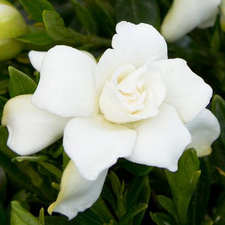 Miniature Gardenia (Grafted)