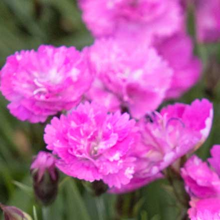 Mountain Frost™ Pink PomPom Dianthus