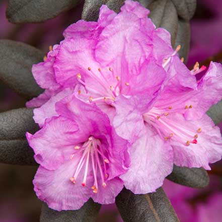 P.J.M.-Rhododendron