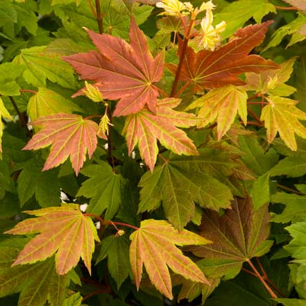 Pacific-Fire-Vine-Maple_441