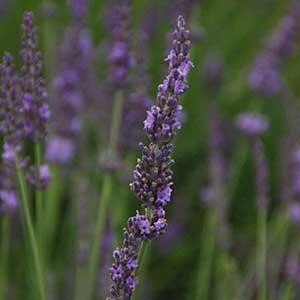 Phenomenal_French_Lavender