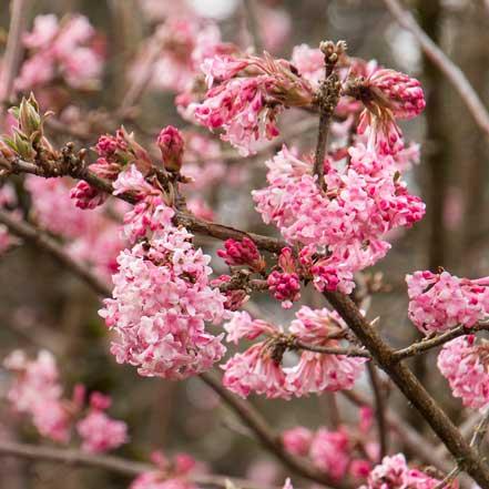 Pink-Dawn-Viburnum