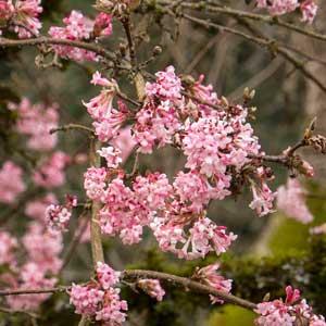 Pink-Dawn-Viburnum_300_1